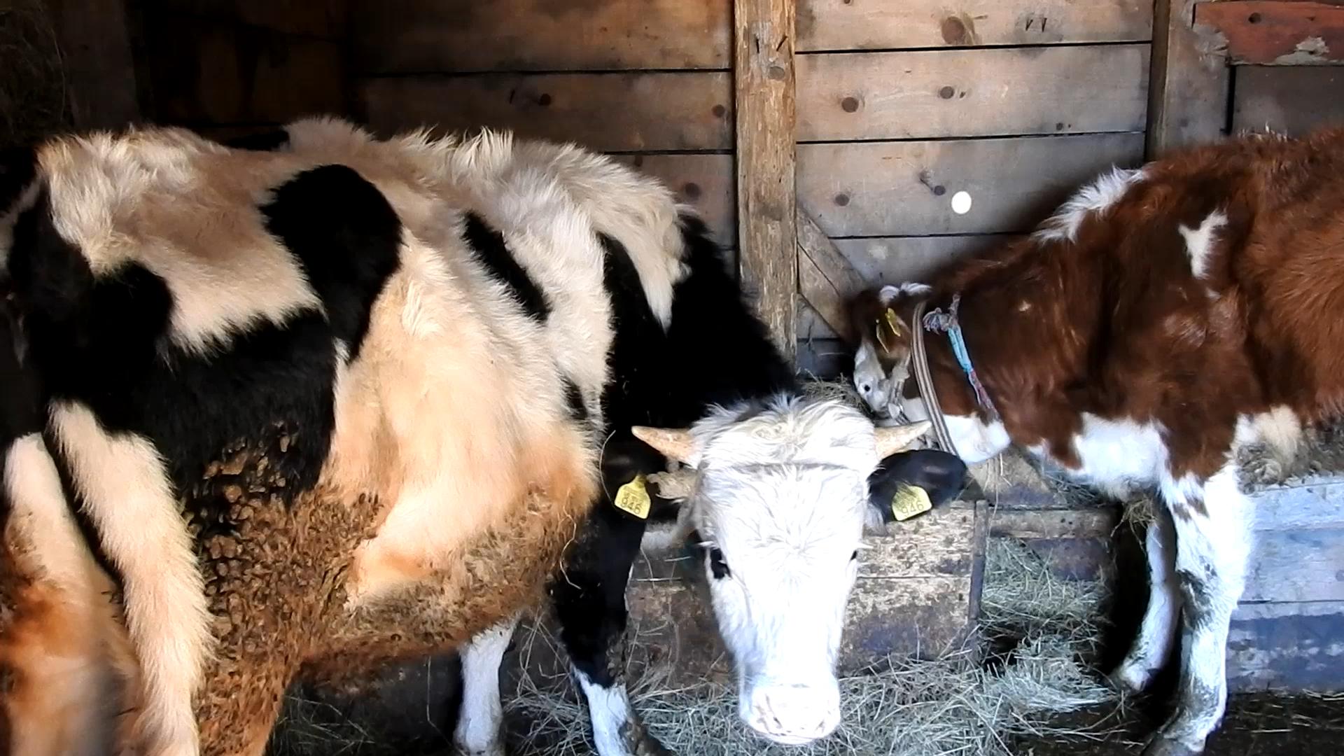 Krave koje Slavka drži u svom stadu (Foto: Enis Eminović)