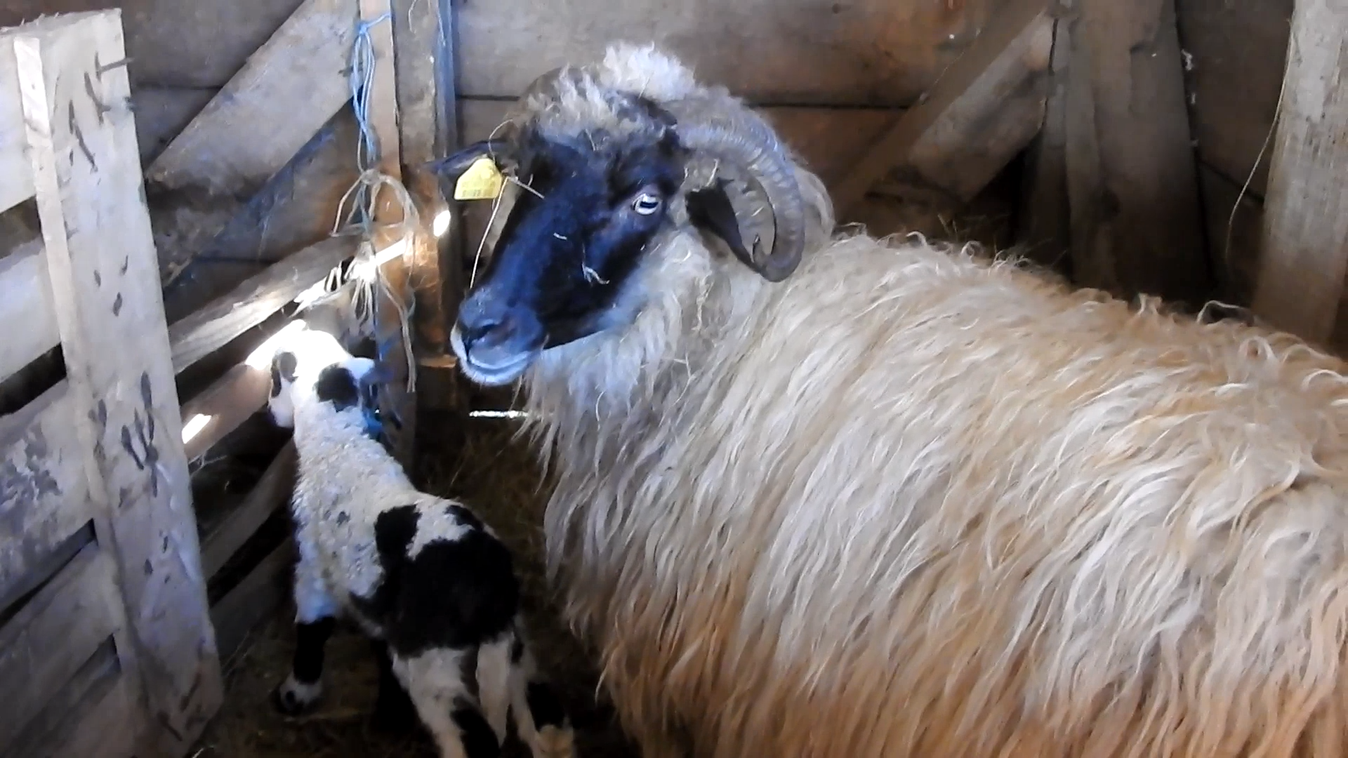Ovce koje Slavka drži u svom stadu (Foto: Enis Eminović)